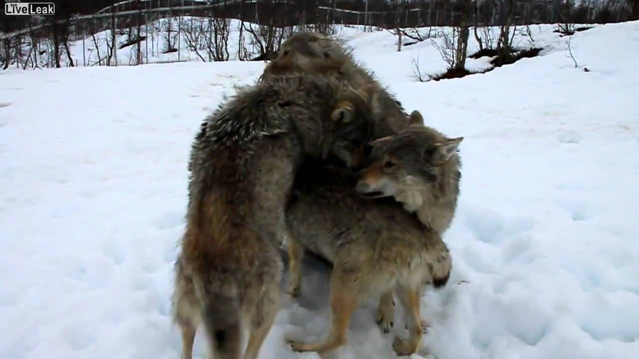 Čopor vukova okružio ženu, a zatim se dogodilo nešto nezamislivo