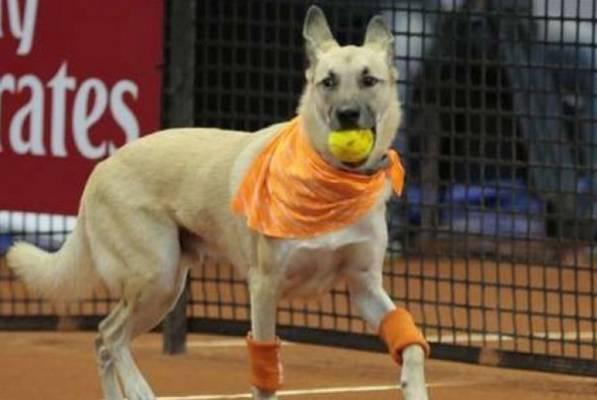 Revolucija u tenisu: Psi rade kao skupljači loptica