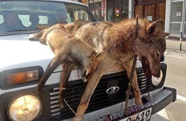 FOTOGRAFIJE ZAPANJILA BALKAN: Lovci iz Trebinja ubili vuka i lisicu, pa ih na haubi `Lade` vozali kroz centar grada!