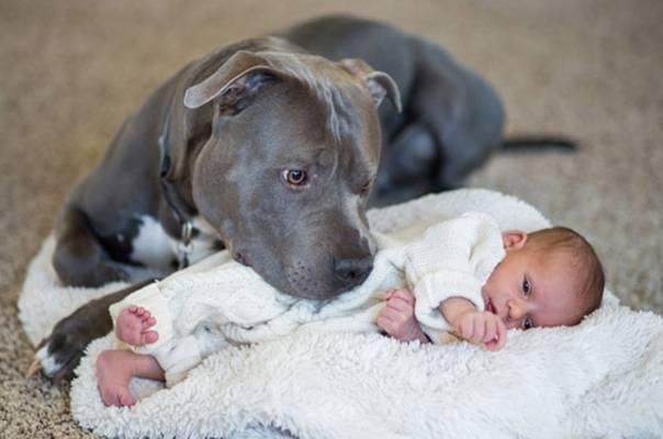 Rekao je ženi da moraju da se reše PIT BULA zbog bebe, ali ono što je on učinio ih je sve zadivilo!