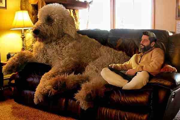 Ovaj gigantski pas polako osvaja Internet. A razlog što je tako velik, ne možete ni pretpostaviti!