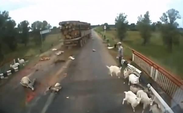 ŠOKANTAN SNIMAK OSTAVIO SVIJET BEZ TEKSTA! Vozač kamiona velikom brzinom pregazio stado ovaca…