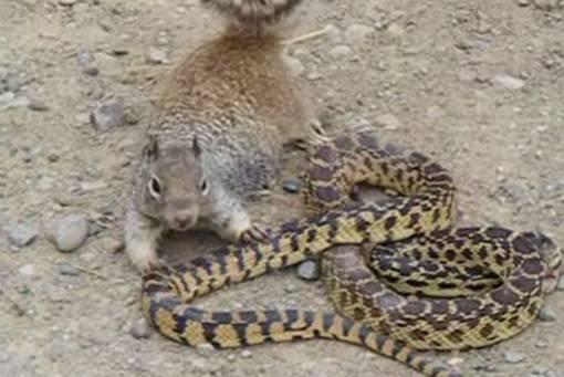 OVO DO SAD NISTE VIDJELI: Pogledajte kako je vjeverica napala i pojela zmiju…