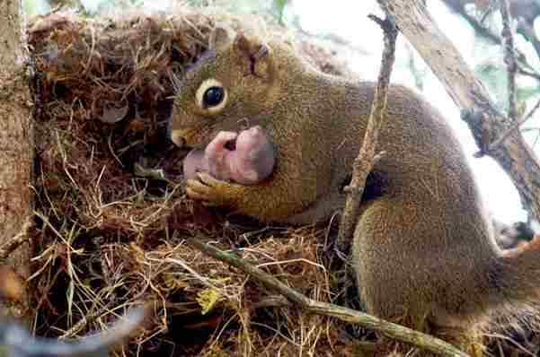 Neko je oborio gnijezdo s vjevericama na pod. Pogledajte šta je mama vjeverica uradila!