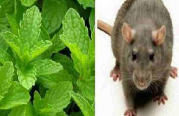 Ako imate OVU biljku u vašem domu, nikada više nećete vidjeti miševe, pauke i druge insekte!