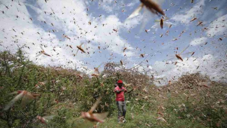 KORONA POJAČALA BIBLIJSKU POŠAST: Zbog ograničenja letova, istočna Afrika bez pesticida, borba protiv skakavaca nemoguća